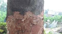 Người dân đang bức tử những cây xà cừ bên đường ở Hà Nội