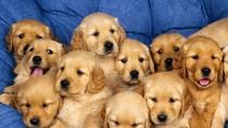 Trầm cảm vì bố mẹ làm nghề mổ chó