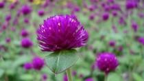 Hoa đẹp – Thuốc quý