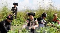 Chính sách đặc thù cho nuôi trồng, khai thác dược liệu