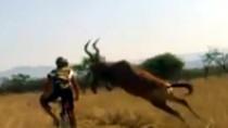 Chỉ có ở châu Phi: Suýt nát xương vì linh dương