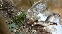 Video: Cá sấu choáng voáng vì cú giật hàng trăm volt của lươn điện