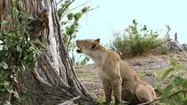 """Ảnh: Khỉ đầu chó """"mắng"""" sa sả sư tử ăn thịt mẹ mình"""