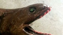 Phát hiện cá mập có mào ở Úc
