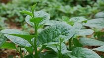 13 công dụng chữa bệnh không ngờ của rau mồng tơi