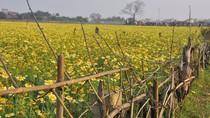 Làng quê Hà Nội rực rỡ sắc vàng mùa cải đơm hoa