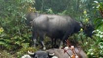 Bí ẩn loài ác thú giết hại hàng loạt trâu bò ở Sơn La
