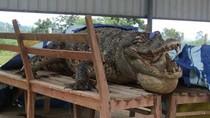 Cá sấu Xiêm hoang dã cuối cùng ở Việt Nam đã chết