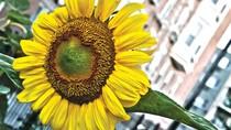 Thực hư về bài thuốc Hoa hướng dương giúp đẻ không đau