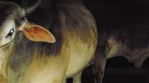 """Hãi hùng lò mổ bơm nước no căng """"tăng trọng"""" bò để trục lợi"""