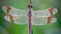 Ngắm chuồn chuồn đẹp long lanh trong sương sớm