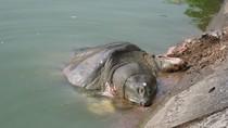 Rùa hồ Gươm nổi: Nhà giáo Ngò 'bác' nguyên nhân Rùa bị đói