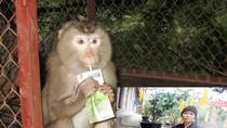 VIDEO: Cảm động trước tấm lòng nhà sư chăm sóc khỉ như con ở Hải Dương
