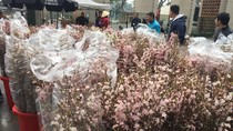 12 nghìn cành hoa tươi đã sẵn sàng cho Lễ hội Hoa anh đào Hà Nội