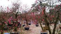 """Chùm ảnh: Chợ hoa đào, vườn cây cảnh """"ùa"""" nhau xuống phố"""