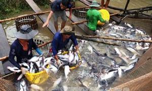 Tập trung phát triển tôm sú, tôm thẻ chân trắng và cá tra