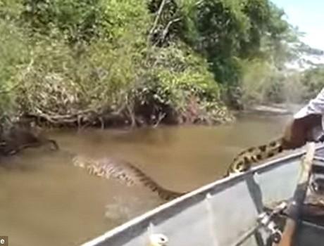 Video: Ngư dân Brazil săn đuổi trăn Anaconda khổng lồ