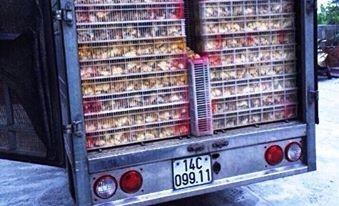 Công an bắt vụ vận chuyển 15 nghìn con gà giống không rõ nguồn gốc - ảnh 1