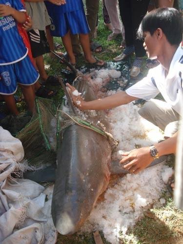 Cá mập 80kg mắc lưới ngư dân, Tin tức trong ngày, ca map o quy nhon, ca map, ca map trang, ngu dan, ca map tan cong nguoi, bao, tin tuc, tin hot, tin hay